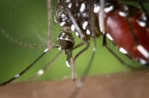 mosquito-dengue-chikungunya